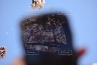 桜,手,ファインダー越しの私の世界,携帯越し