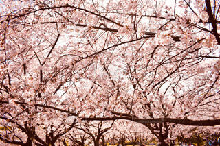 公園,花,春,屋外,満開,樹木,草木,桜の花,さくら