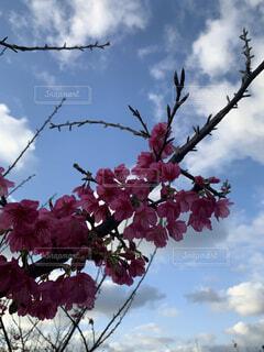 空,花,春,屋外,雲,樹木,草木,ブロッサム