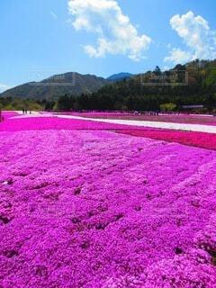 芝桜の写真・画像素材[4142487]