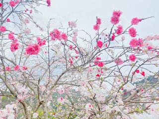 同じ木に違う色の花(桃)の写真・画像素材[4278366]