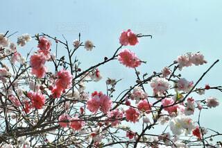 空にのびる桃の花の写真・画像素材[4288203]