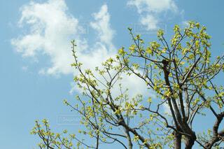 いい天気の中日光浴する柿の葉の写真・画像素材[4302442]