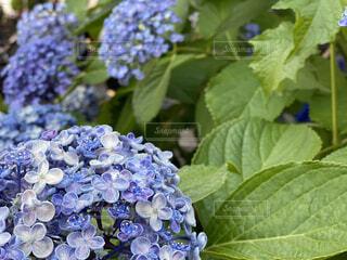 紫陽花のクローズアップの写真・画像素材[4579887]