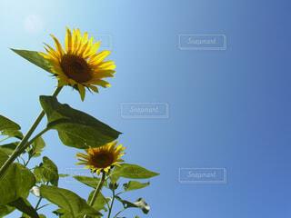 青空に伸びるひまわりの写真・画像素材[4609029]