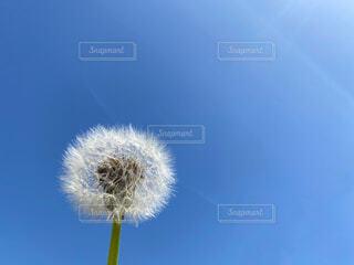たんぽぽの綿毛と空の写真・画像素材[4611270]