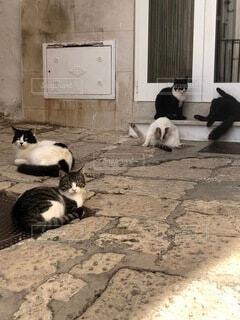 猫,動物,白,黒,景色,寝転ぶ,地面,イタリア,群れ,会合
