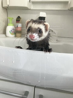 動物,屋内,かわいい,ペット,お風呂,フェレット