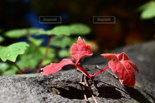 小さくたって紅葉!の写真・画像素材[858642]