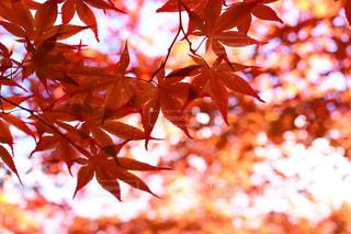 夕方の紅葉は美しいの写真・画像素材[858765]
