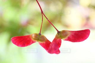 赤い花の写真・画像素材[858776]