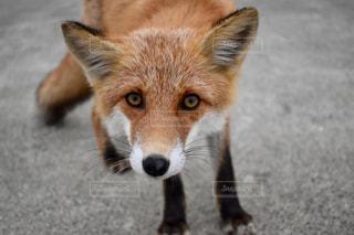 カメラを見て狐の写真・画像素材[880766]