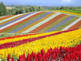 フィールドのカラフルな花のグループの写真・画像素材[880833]