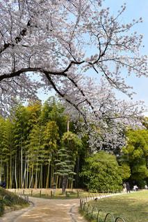 春の後楽園、桜と竹林のコラボ - No.1158634