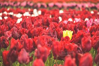 花,春,赤,景色,花びら,チューリップ,仲間外れ