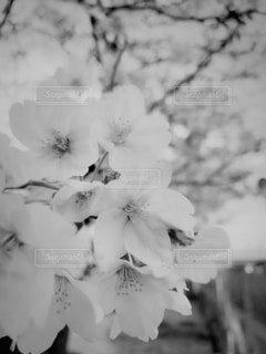 モノクロの桜の写真・画像素材[4174526]