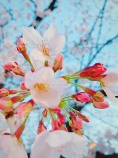 咲き始めの桜の写真・画像素材[4174529]