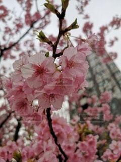 花,春,桜,東京,景色,サクラ,樹木,銀座,河津桜,草木,桜の花,さくら,ブルーム,中央区,ブロッサム,東京の桜