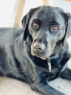 犬,動物,屋内,哀愁,黒,落ち着き,ラブラドール・レトリバー,愛犬,ラブラドール,美,首輪,探す