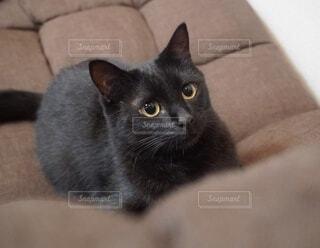 猫,動物,屋内,かわいい,黒,茶色,椅子,子猫,白い壁,ソファー,座る,尻尾,しっぽ,黒猫,目,見つめる,まんまる,耳,ヒゲ,威嚇,獲物,ネコ科,遊んで,まんまるの目,ご飯の時間