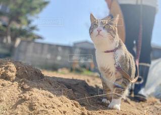 散歩する猫の写真・画像素材[4211854]