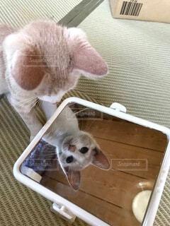 猫,動物,屋内,かわいい,鏡,仲良し,ねこ,子猫,癒し,ネコ,保護猫