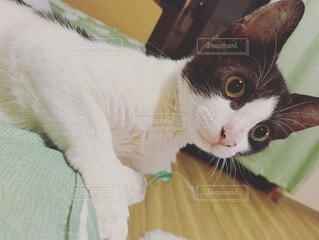 猫,動物,イケメン,屋内,白,子猫,甘えん坊