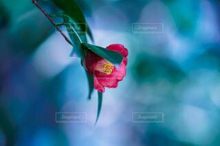 一輪咲きの写真・画像素材[4241421]