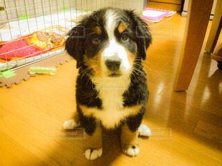 犬,動物,屋内,床,可愛い,仔犬,見つめる,パピー,バーニーズマウンテンドッグ