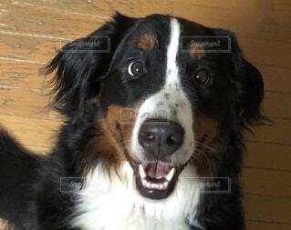 犬,動物,黒,座る,ビックリ,バーニーズマウンテンドッグ