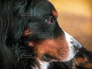 犬,動物,横顔,凛々しい,バーニーズマウンテンドッグ,探す