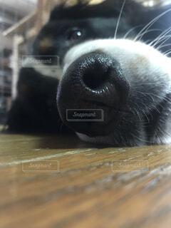 動物,バーニーズマウンテンドッグ,探す,ボーッと,お鼻,クローズ アップ