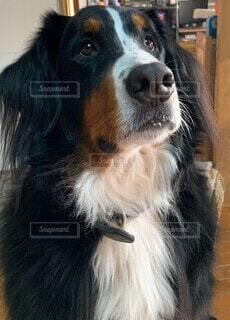犬,動物,屋内,ペット,座る,見つめる,バーニーズマウンテンドッグ