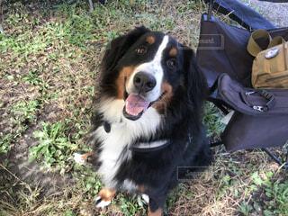 犬,動物,屋外,草,笑顔,バーニーズマウンテンドッグ,優しい犬