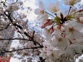 空,花,春,桜,ビル,樹木,草木,桜の花,さくら,ブルーム,ブロッサム