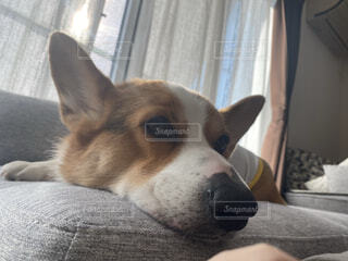 犬,動物,屋内,景色,コーギー