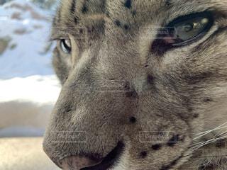 動物,目,ライオン