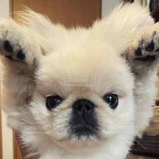 犬,動物,ペキニーズ,白,かわいい,ペット,わんこ,癒し,可愛い,子犬,愛犬,アザラシ,パピー,可愛い犬,鼻ぺちゃ,pekingese,puppy,白い犬,白ペキ,ぶちゃかわ,可愛い子犬,doglife,mydog,cutepuppy
