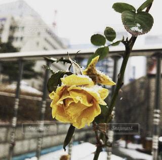 ソウルで見つけた一輪のバラの写真・画像素材[4146342]
