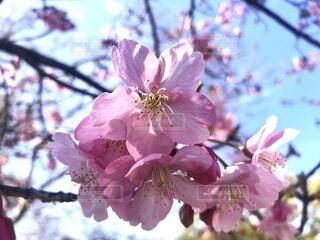 花,春,ピンク,樹木,草木,さくら,ブルーム,ブロッサム