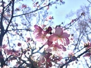花,春,ピンク,樹木,草木,桜の花,さくら,ブルーム,ブロッサム