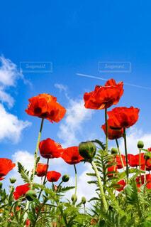 自然,空,花,緑,植物,赤,雲,晴れ,青空,北海道,赤い花,ポピー,飛行機雲,草木