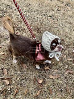 犬,冬,動物,チワワ,屋外,かわいい,帽子,草,ペット,ロングコートチワワ