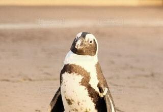 ペンギンですけど、何か?の写真・画像素材[4147775]