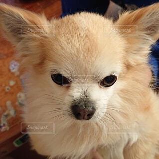 犬,動物,チワワ,屋内,かわいい,茶色,ペット,可愛い