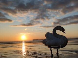 白鳥の写真・画像素材[4148938]