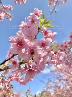 空,花,春,屋外,ピンク,青空,景色,樹木,草木,さくら,みつばち,ブルーム,ブロッサム