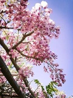 空,屋外,ピンク,青空,藤,樹木,フォトジェニック