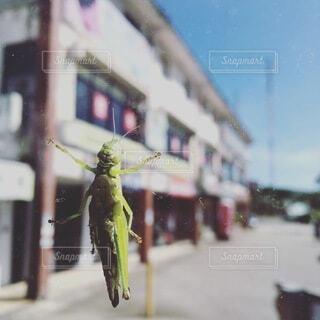 動物,屋外,窓,虫,バッタ,負けない!,バッタのお腹,バスの窓,張り付いた