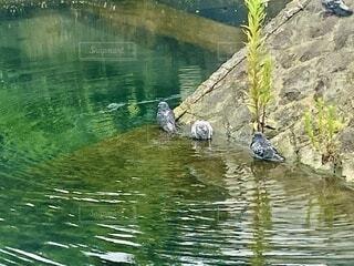 湧水公園で鳩が水浴びをしていました。の写真・画像素材[4702491]